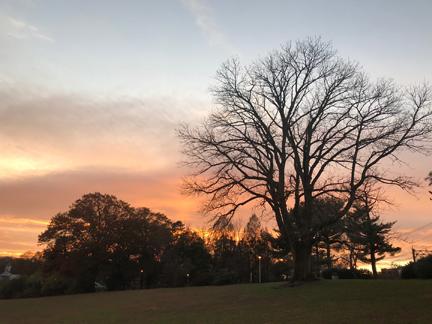 Maplewood Memorial Park Ash Tree